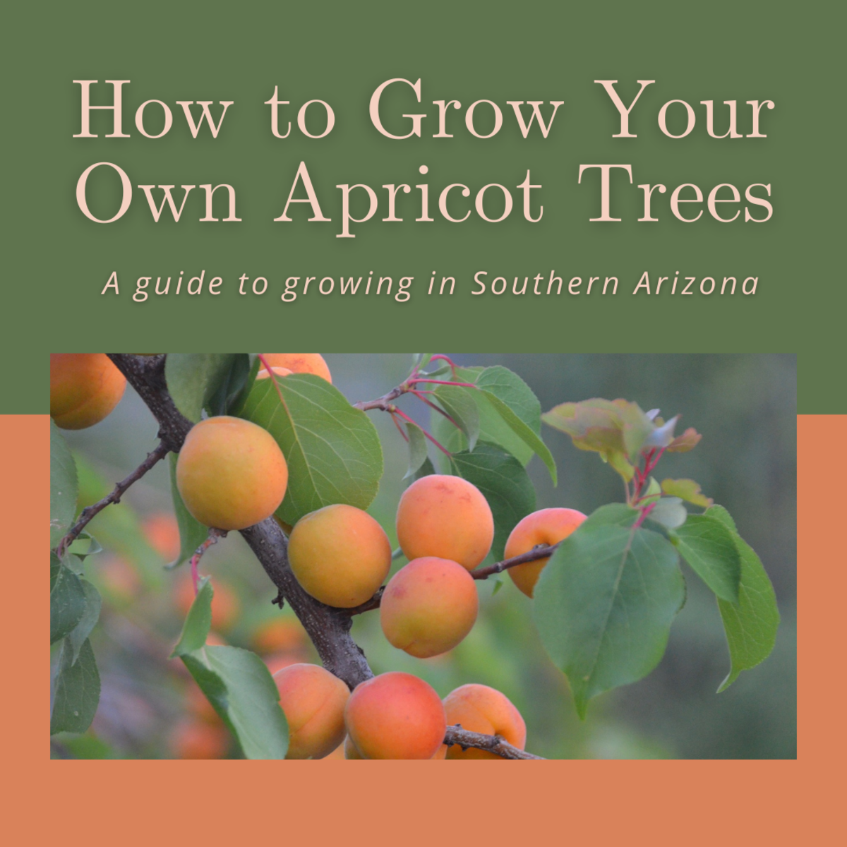 This guide will break down how to grow apricot trees in Southern Arizona.
