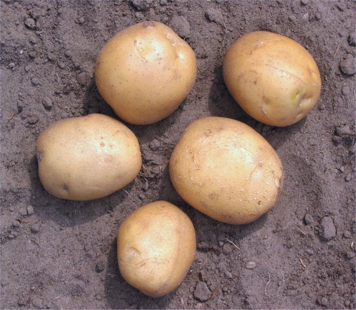 "White potatoes are often called ""Irish potatoes"" to distinguish them from the sweet potato."