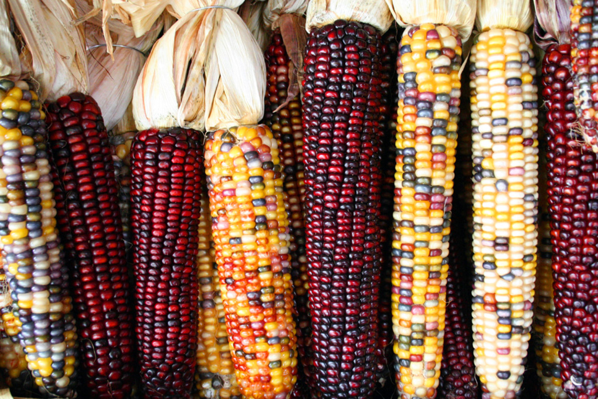 different colored corn kernels.