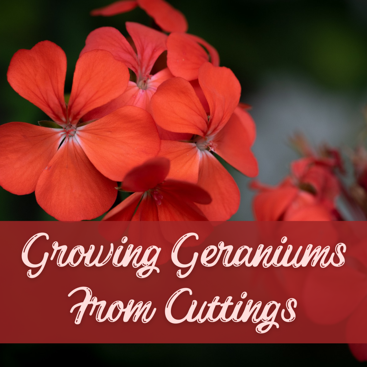 How to Grow a Geranium Plant From a Cutting