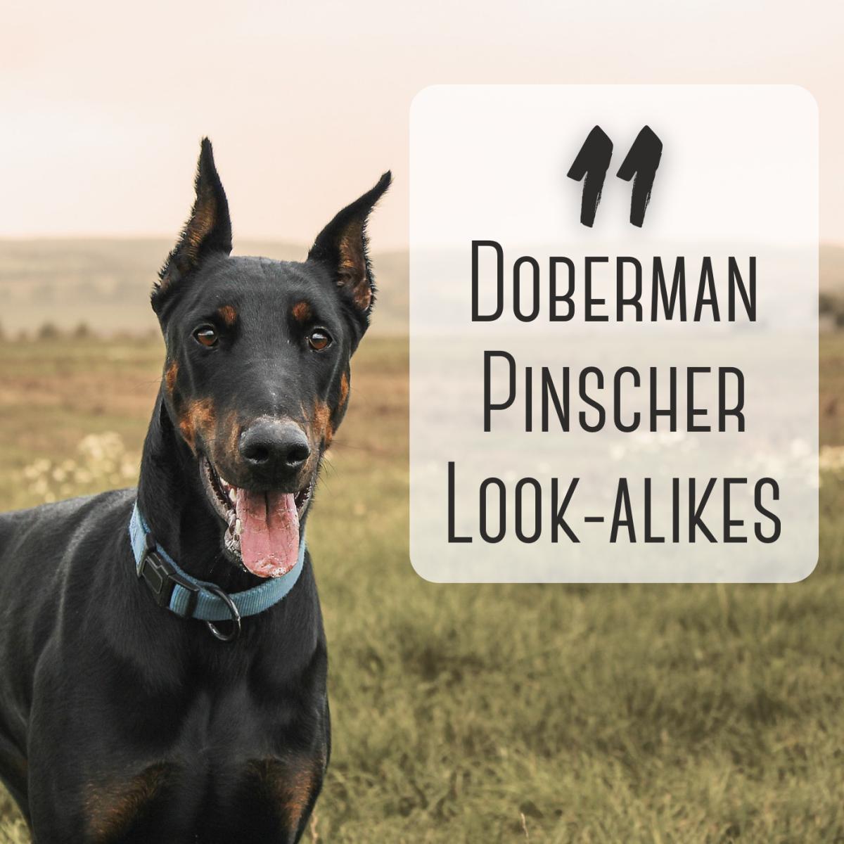 11 Dog Breeds That Look Like Doberman Pinschers