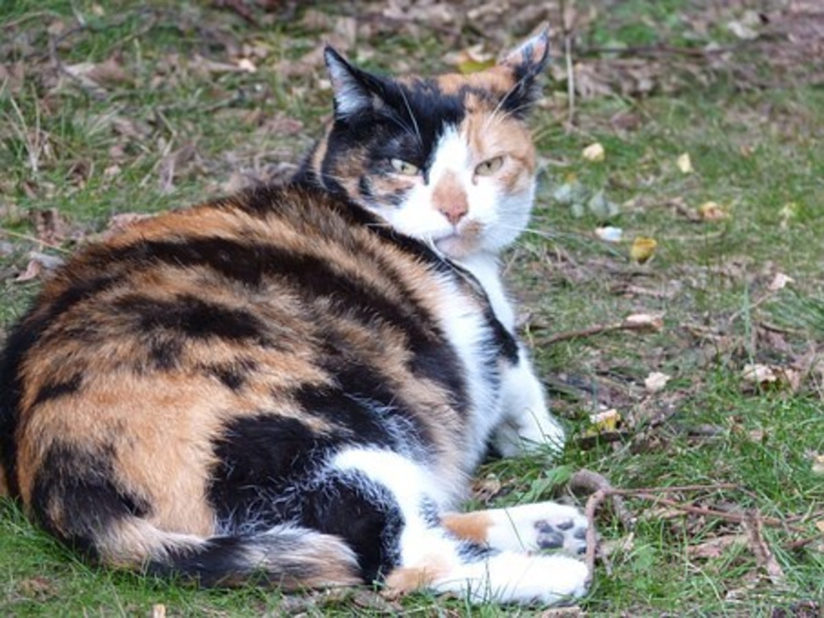 how-long-are-cats-pregnant