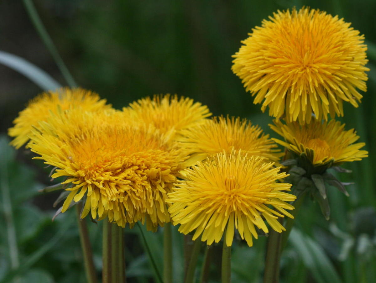 herbs-that-help-protect-strengthen-and-rebuild-the-liver