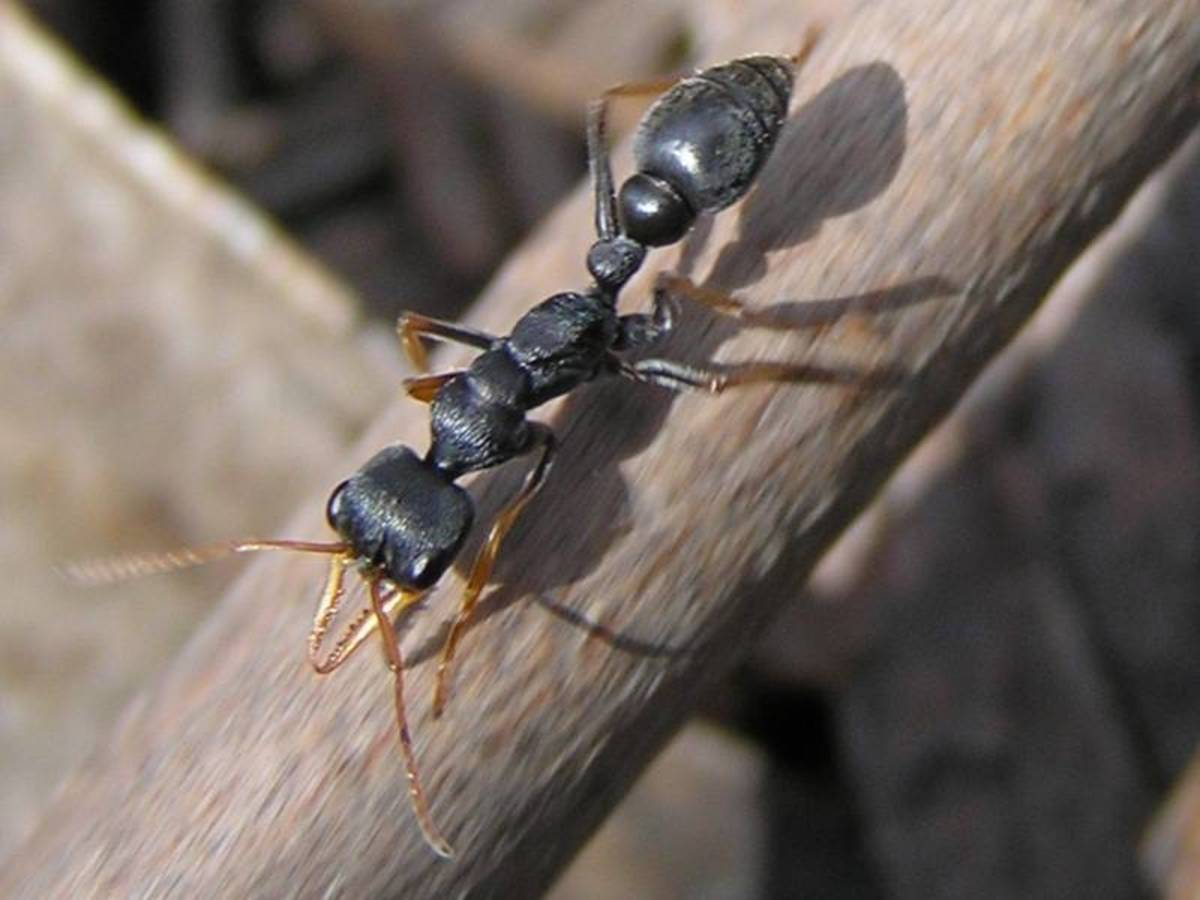 The Jack Jumper ant, located in Australia, is the world's most dangerous ant. There have been at least three human fatalities since 1936. The fastest recorded death of a human adult was within 15 minutes of envenomation.
