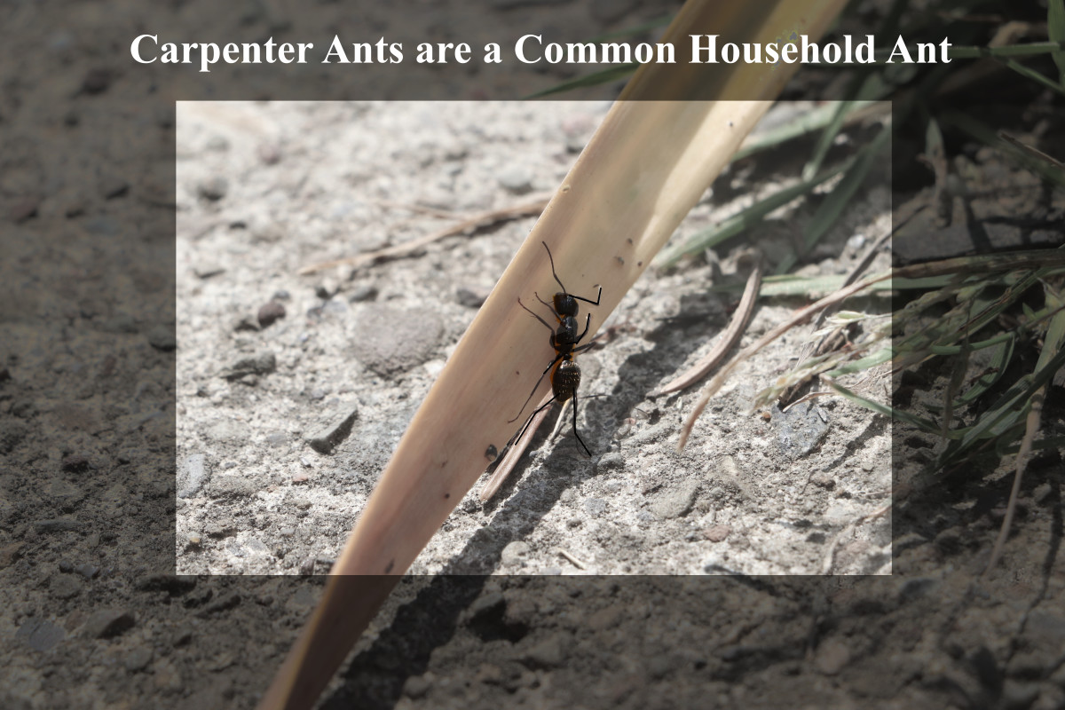 If you see a large black (or sometimes red) ant in your house, it is likely to be a carpenter ant. These ants are omnivorous, but are classed as a type of sugar ant.