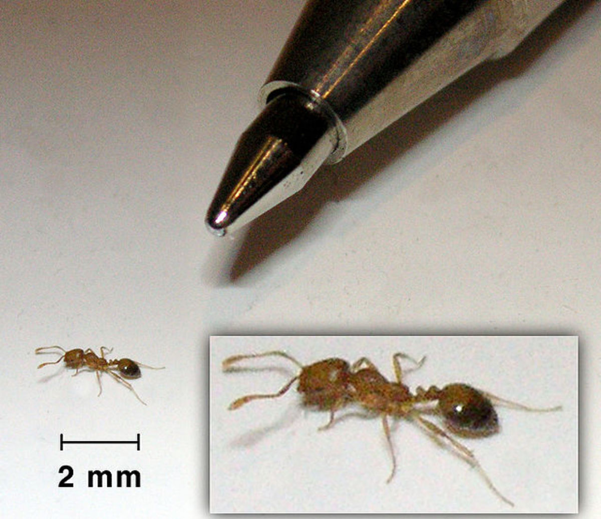 Pharaoh ants are extremely tiny, very invasive, and live only 4-12 months.