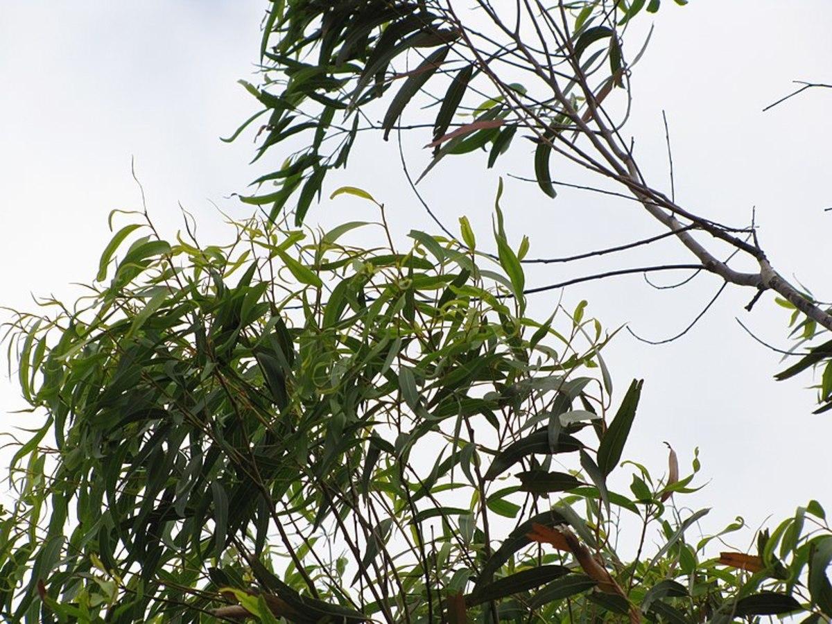 Lemon eucalyptus oil is from the Australian tree Corymbia citriodora.