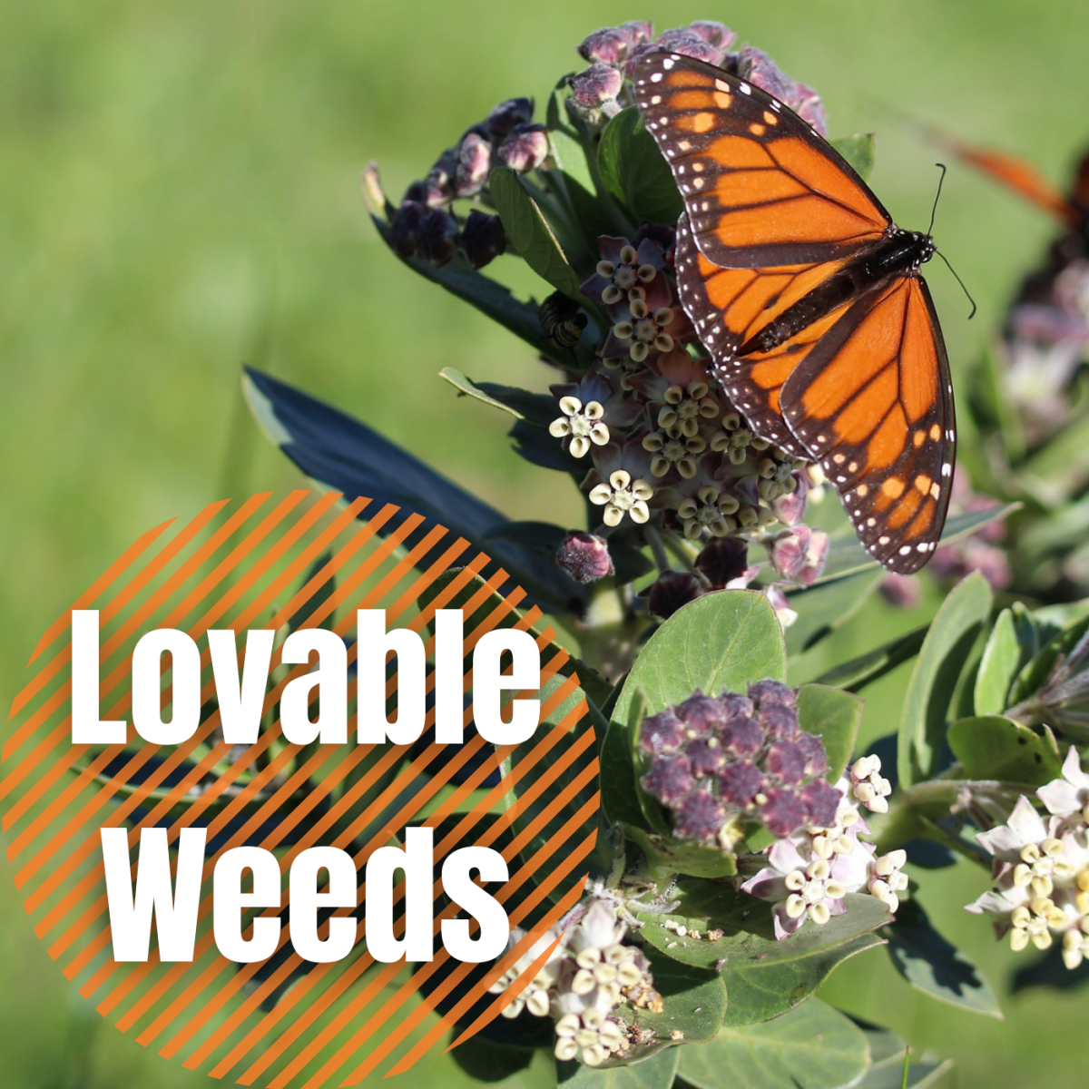 Some weeds are more useful than annoying. They are easy to grow and can add visual appeal while attracting pollinators to your yard.