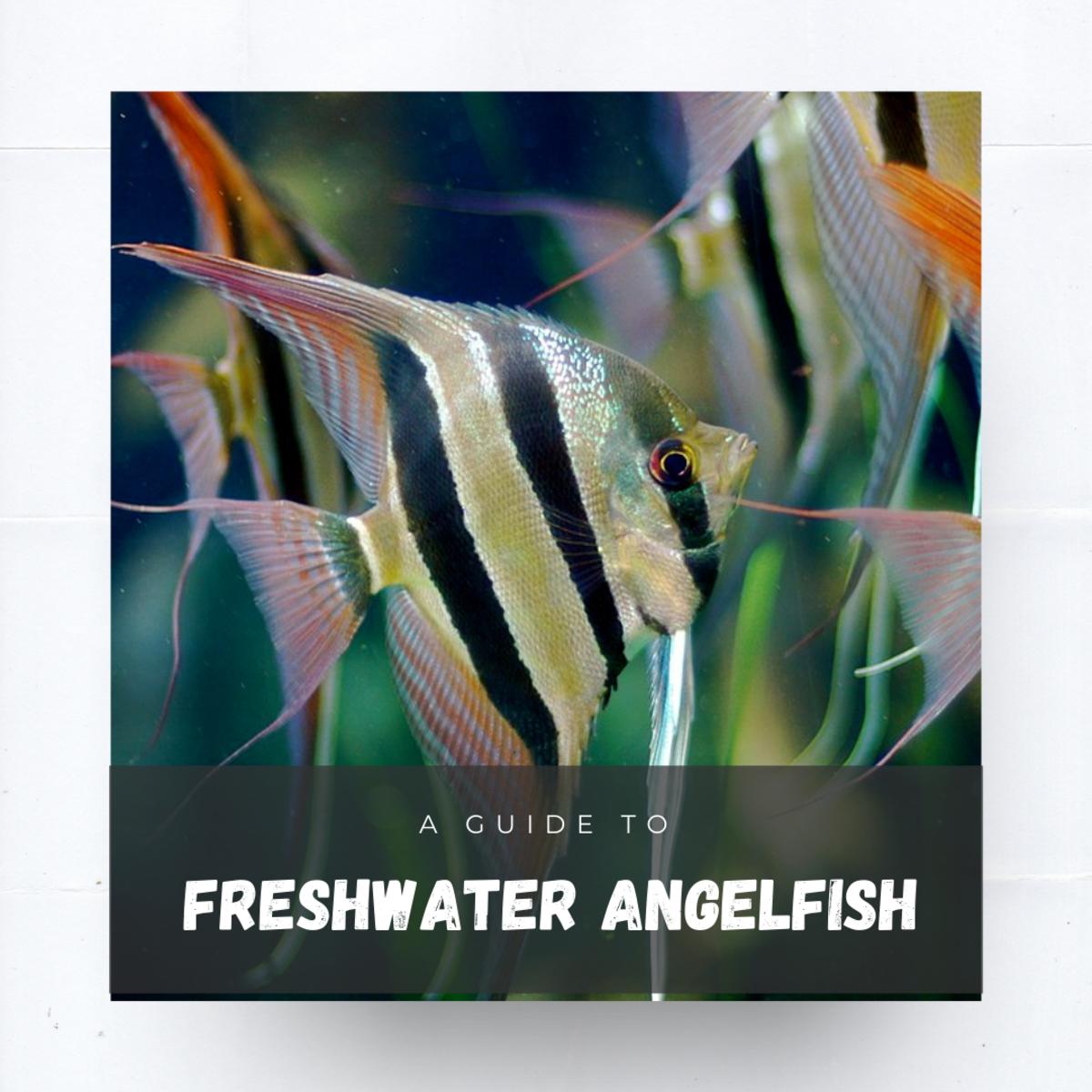 Freshwater Angelfish Care, Tank Mates, and FAQ