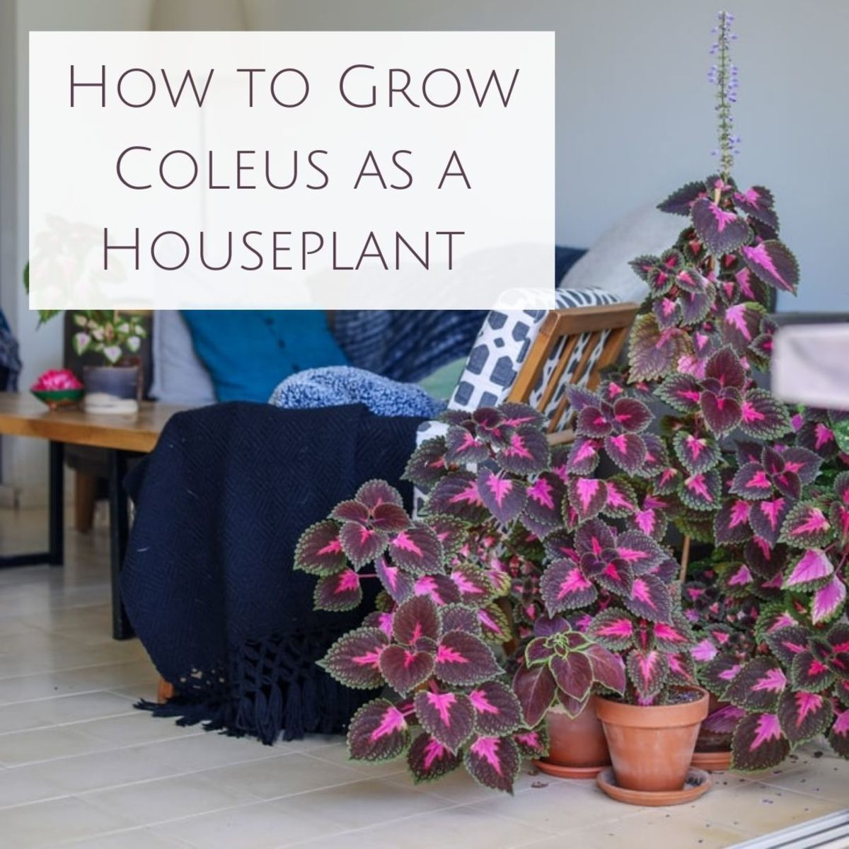 A coleus plant can make a great addition to your collection of house plants.