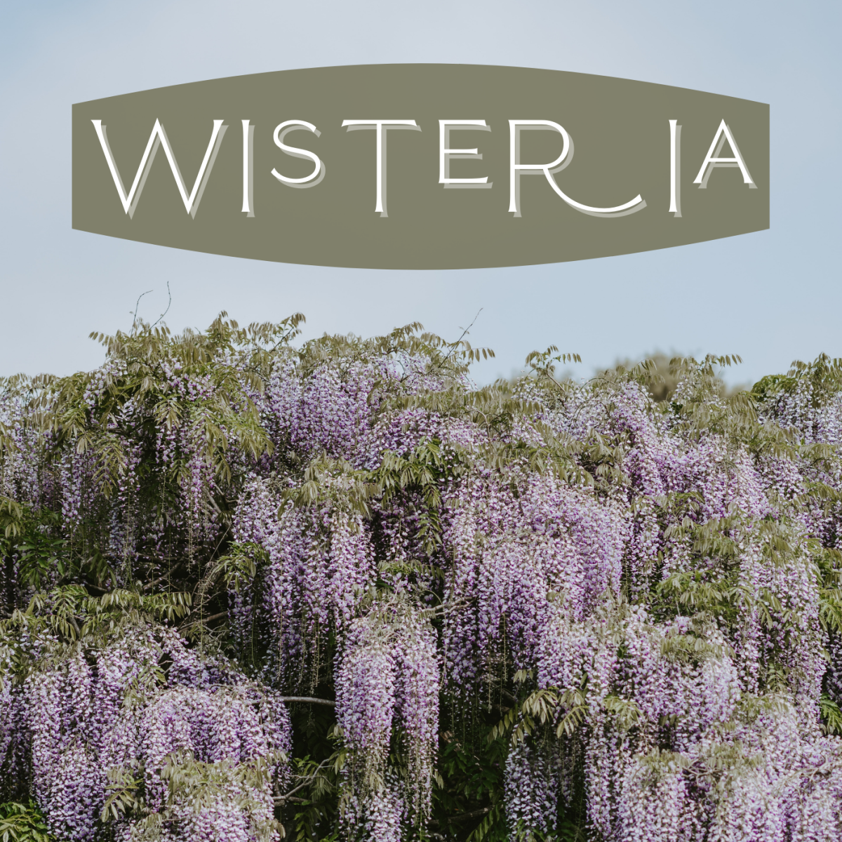 Wisteria is a vining plant with gorgeous cascading blooms.