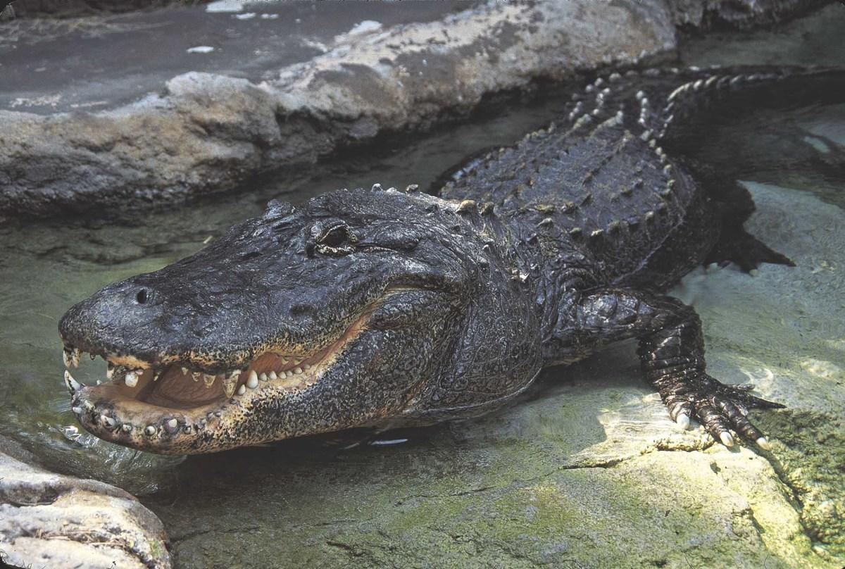 the-alligator
