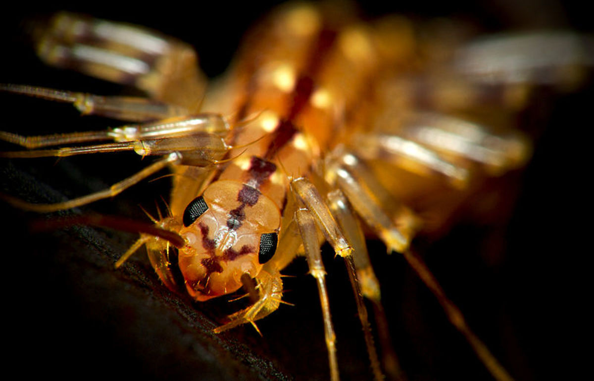 This House Centipede is a Jerk