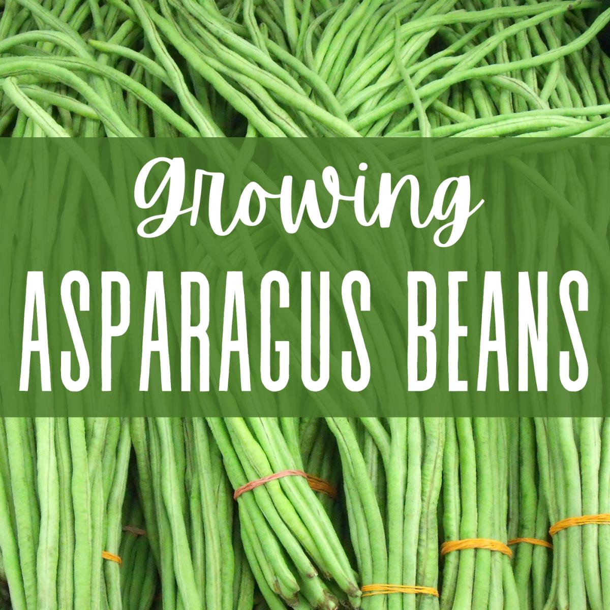 Learn how to plant, grow, and serve asparagus beans.