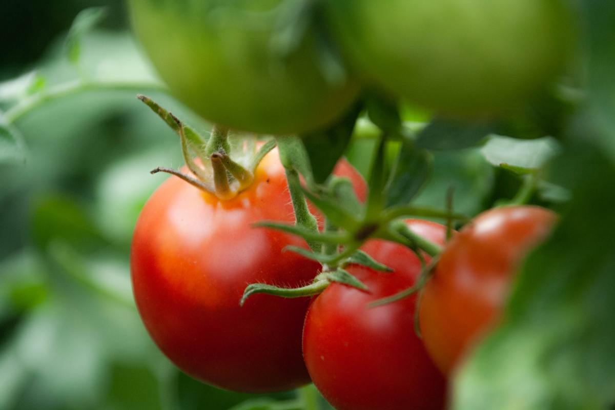 A good tomato is well worth the time and effort it takes to grow!