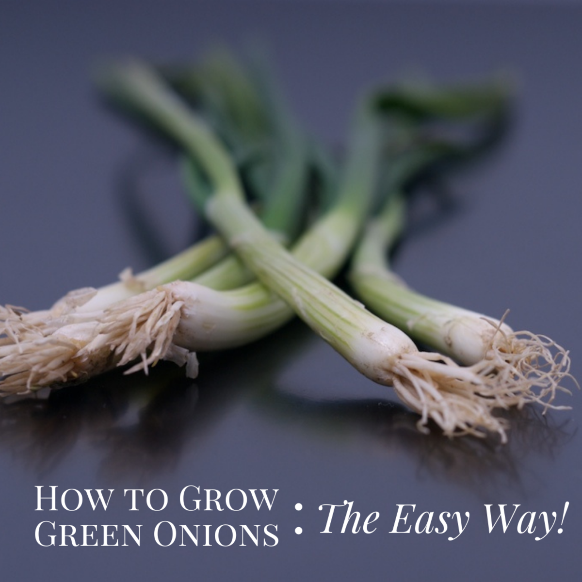This article will show you the easy way to grow your own green onions.