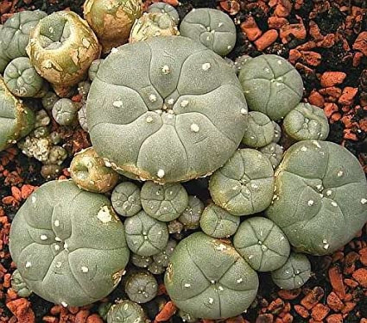 The Peyote plant includes a remarkable list of the ailments