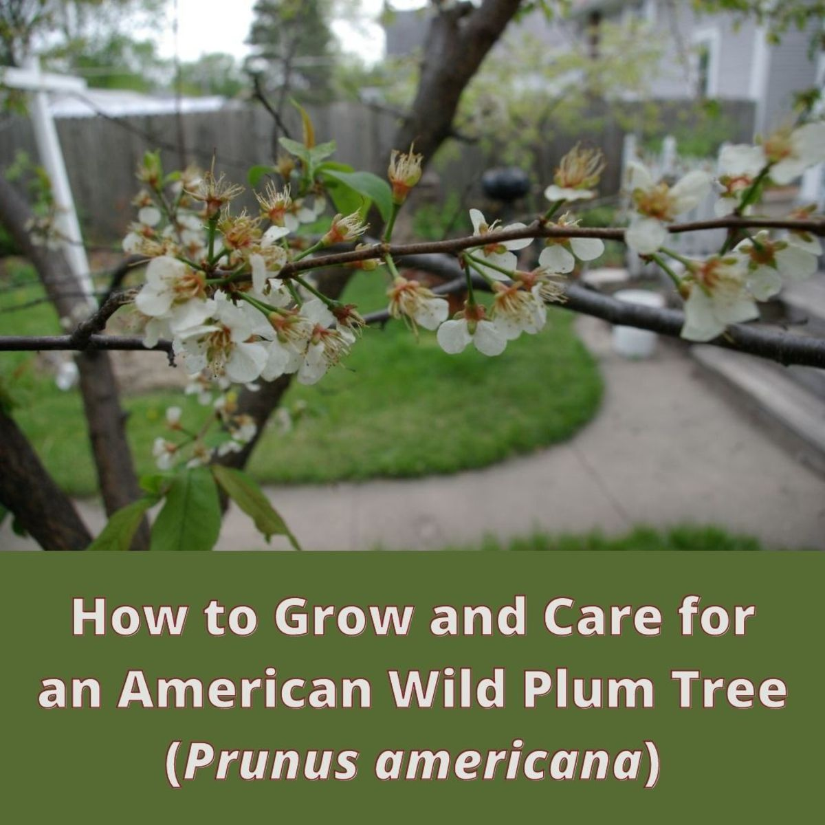 Wild American Plum Tree