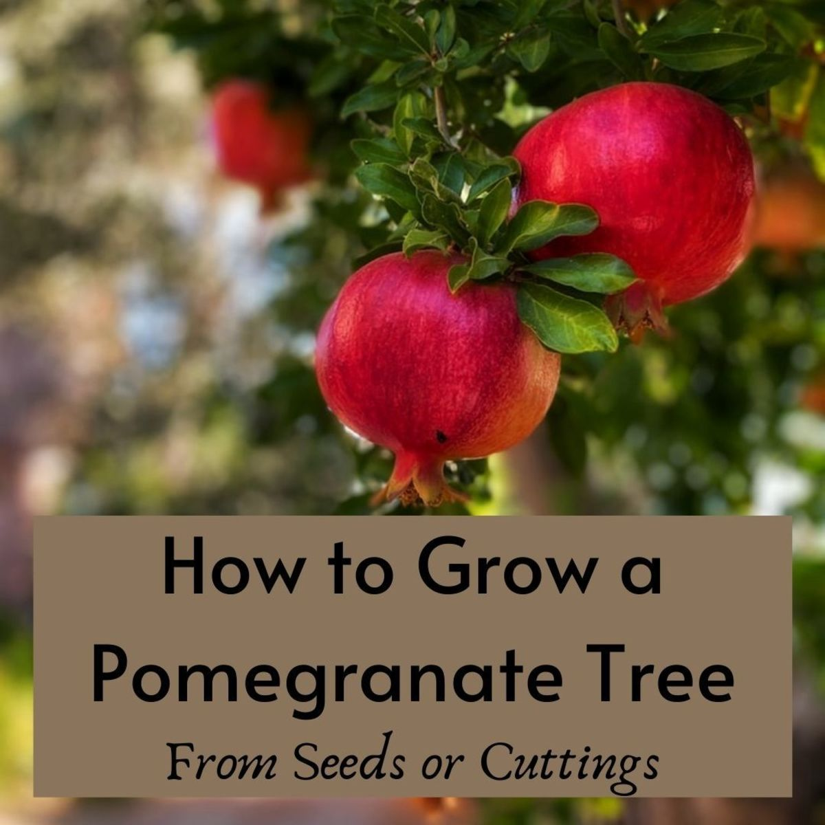 how-to-grow-a-drought-tolerant-pomegranate-tree