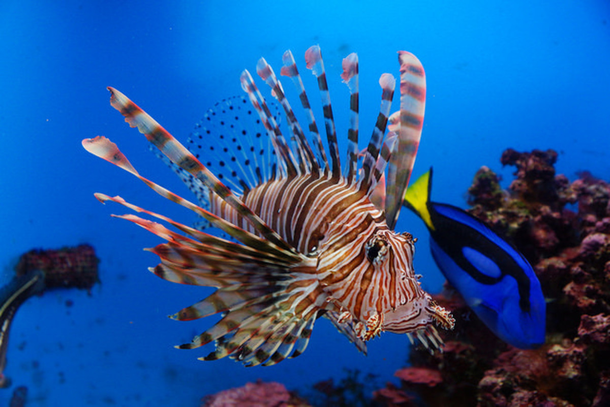 Interesting Facts about Brightly-Coloured, Invasive and Venomous Lionfish