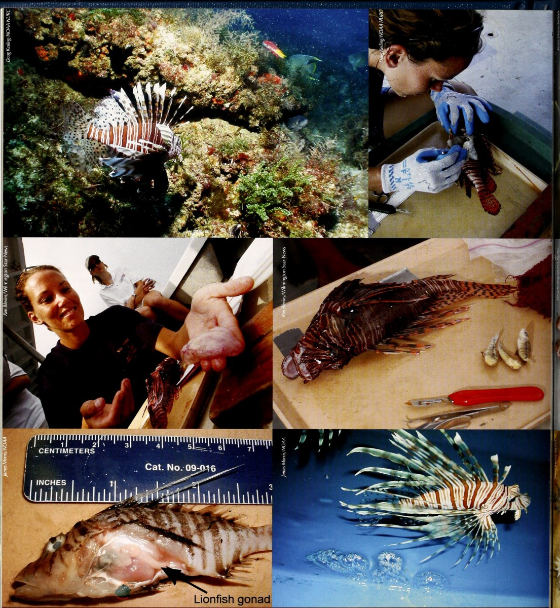 Left Middle: Egg sac of a female lionfish containing up to 20000 eggs. Bottom Right: Two egg balls floating alongside the lionfish