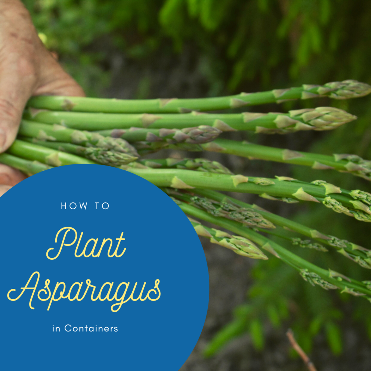 You don't have to wait three years for asparagus to grow if you plant it in containers!