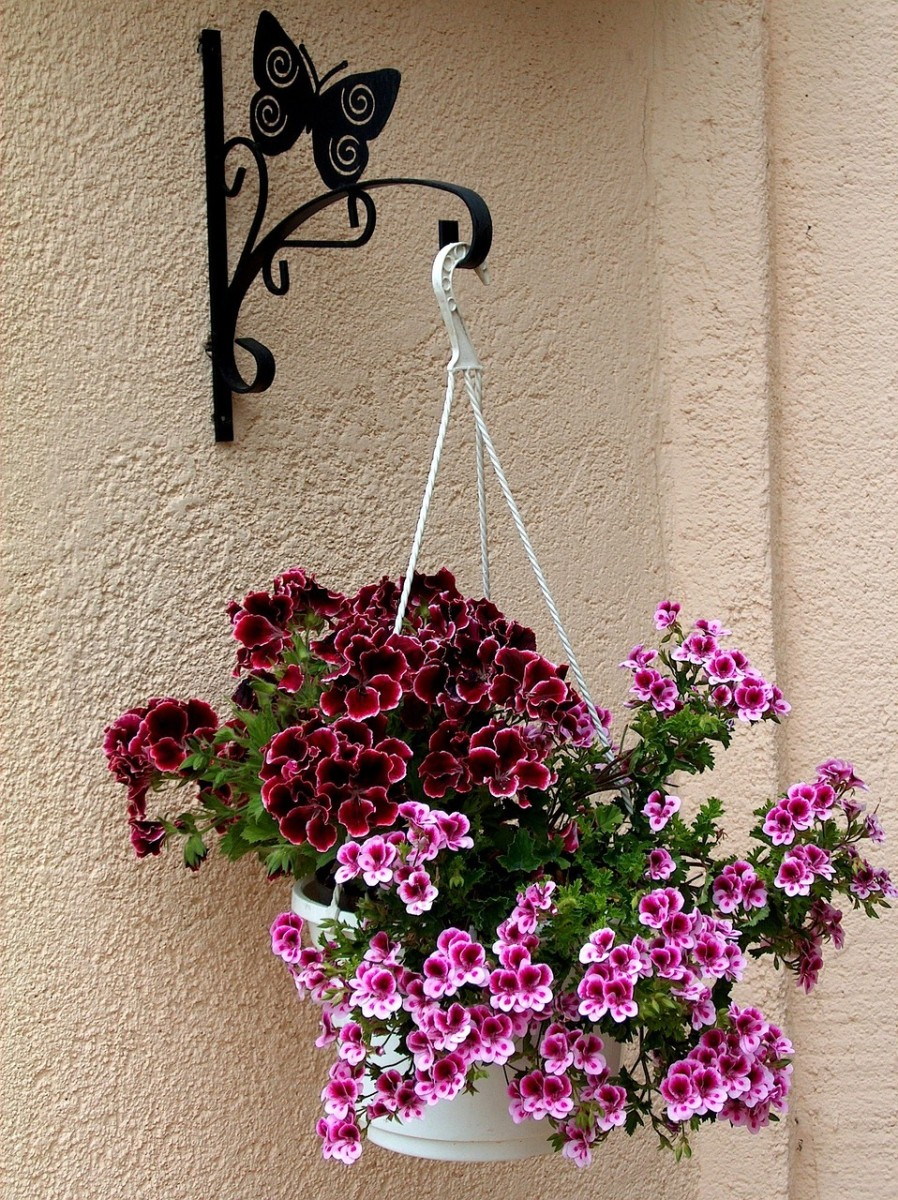 These geraniums are hanging from a decorative bracket on the wall—an attractive option to use if you don't have a balcony ceiling.