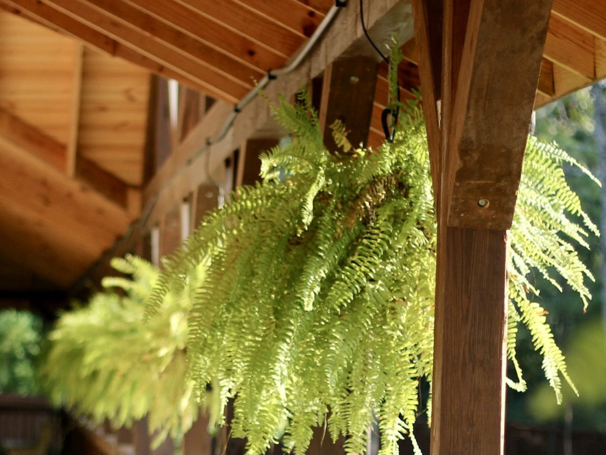 These Boston ferns are hooked over a wooden eave with a big S hook and chains.