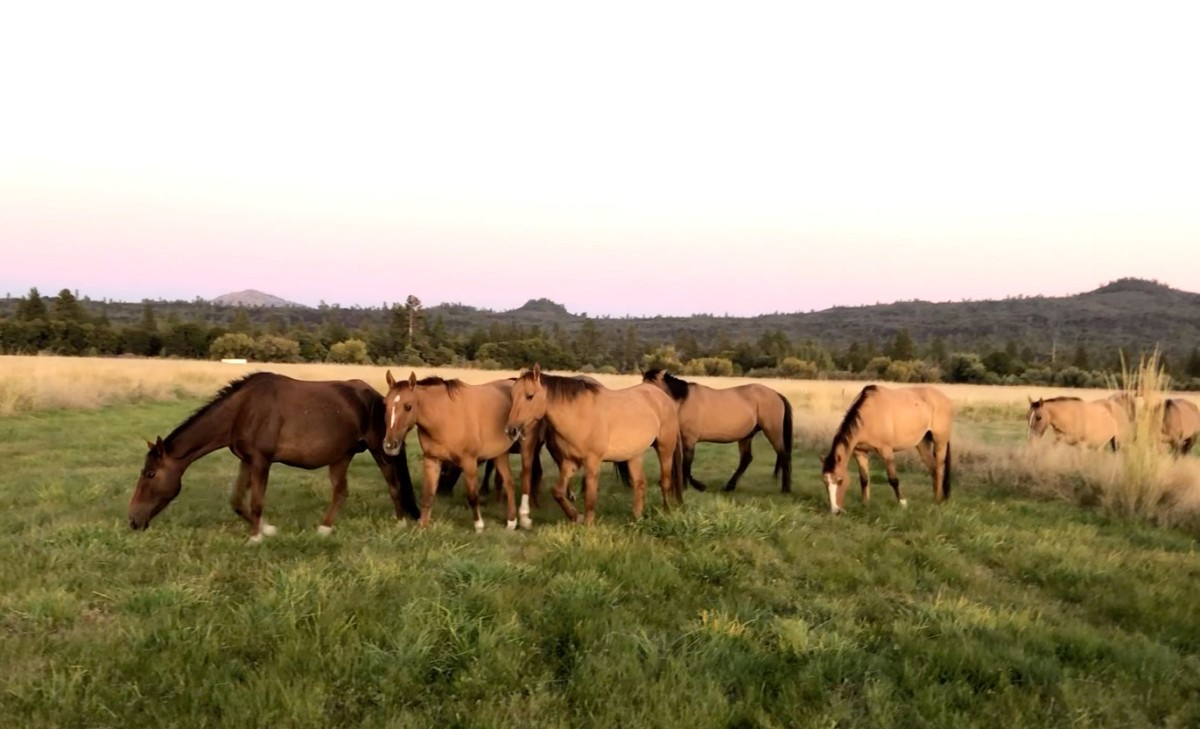 The Gilla Herd wild and free.