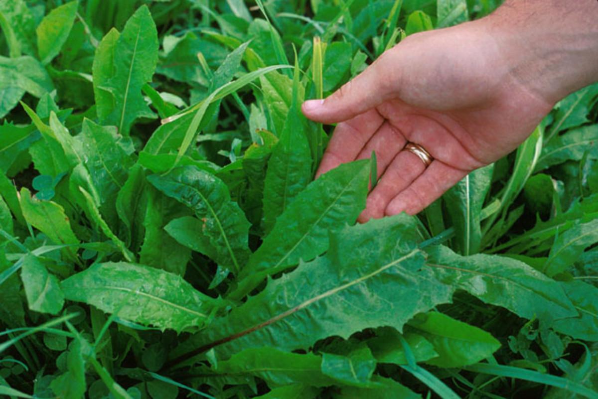 Cichorium endiva