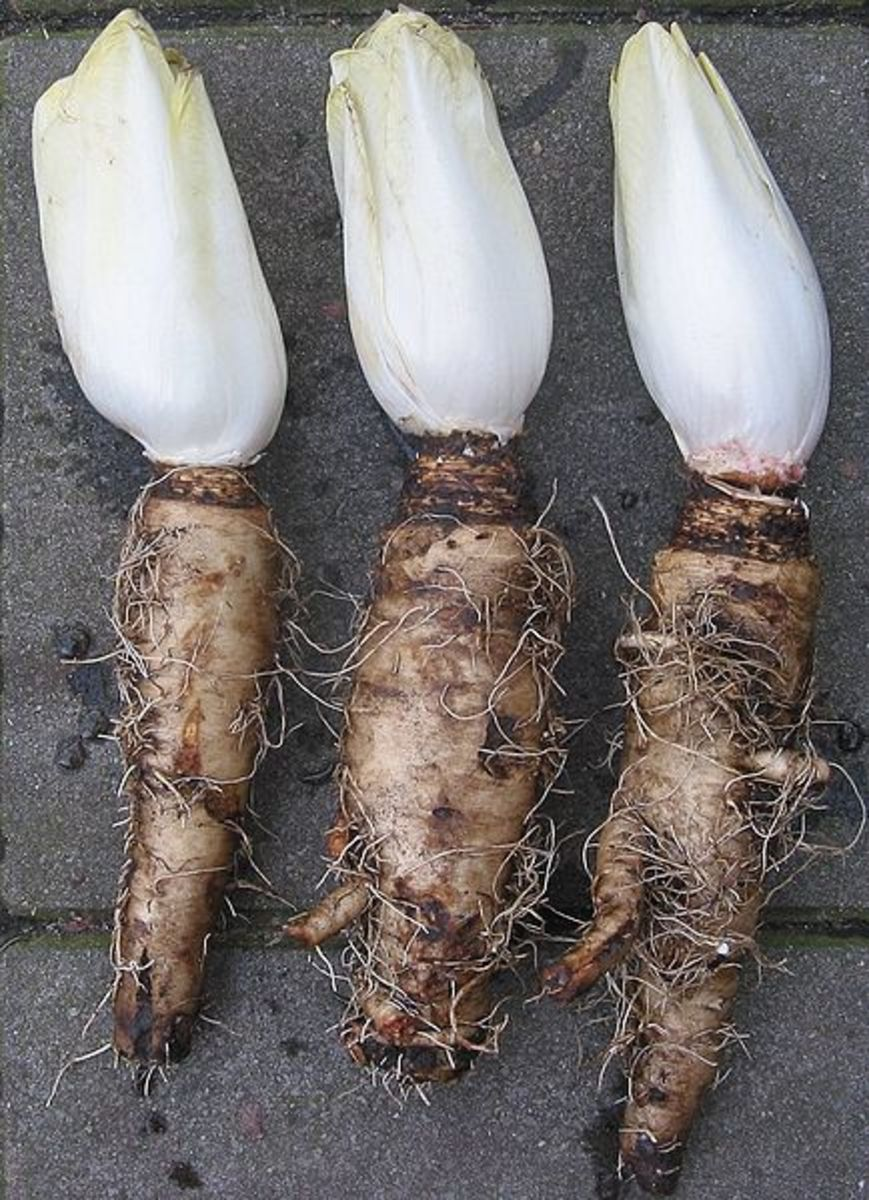 Chicory with roots