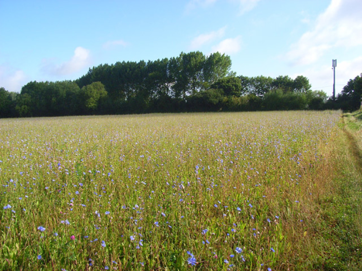 A field of chicory