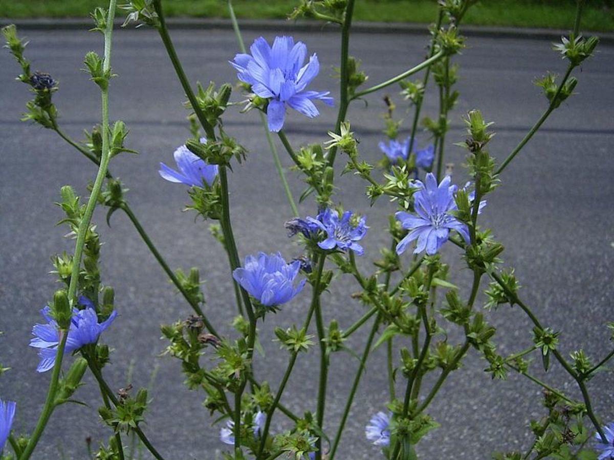 The plant of Cichorium Intybus