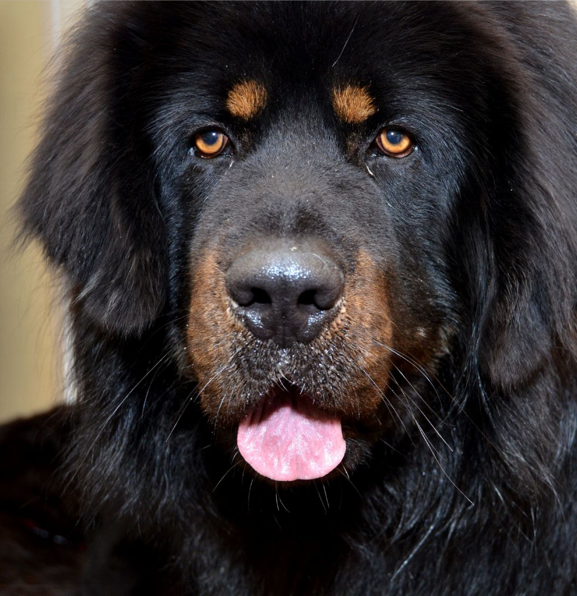 strongest-dog-breeds-that-originated-from-asia