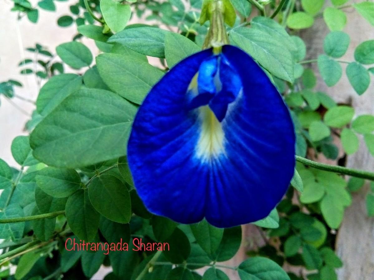 Blue Aparajita from my home garden