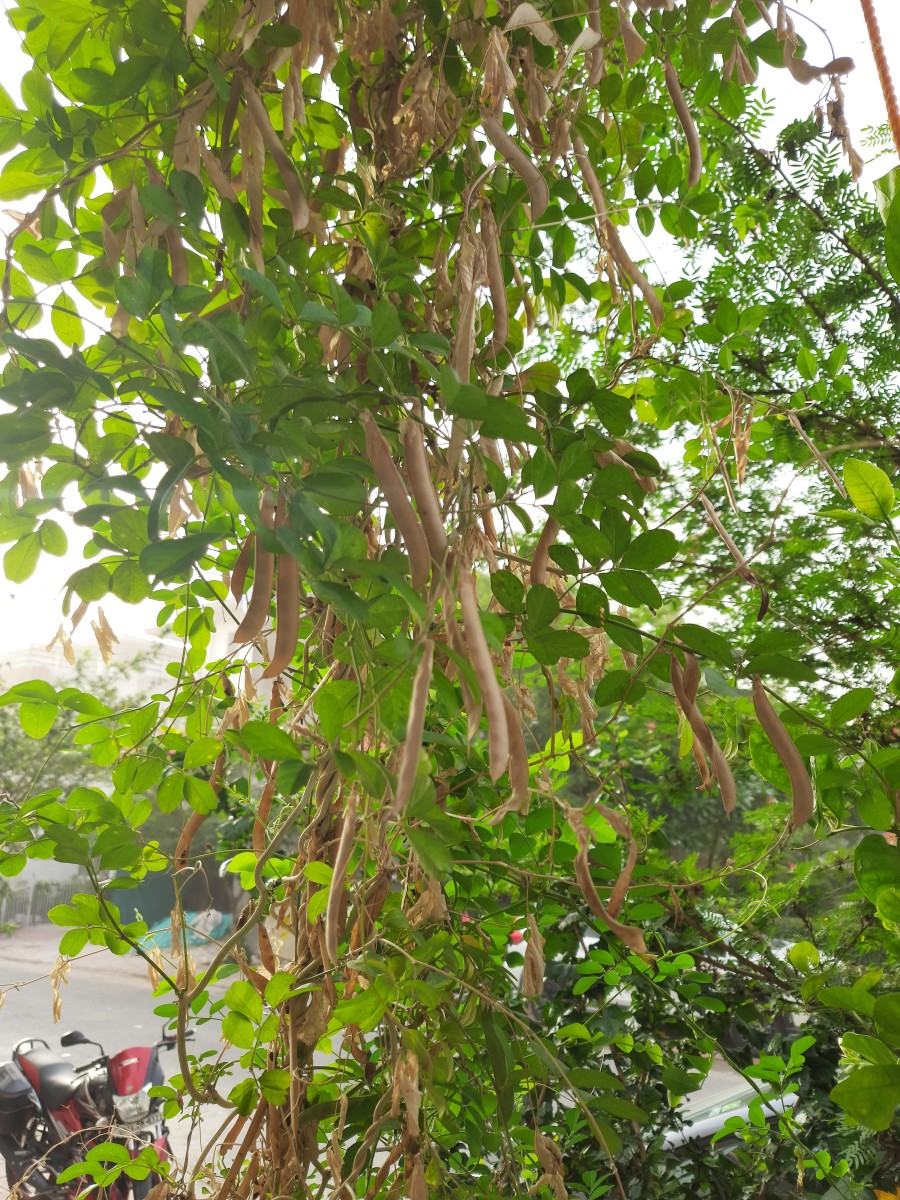 The Vine of Aparajita growing in my garden, is planted in the soil. The pea pods can be seen here.