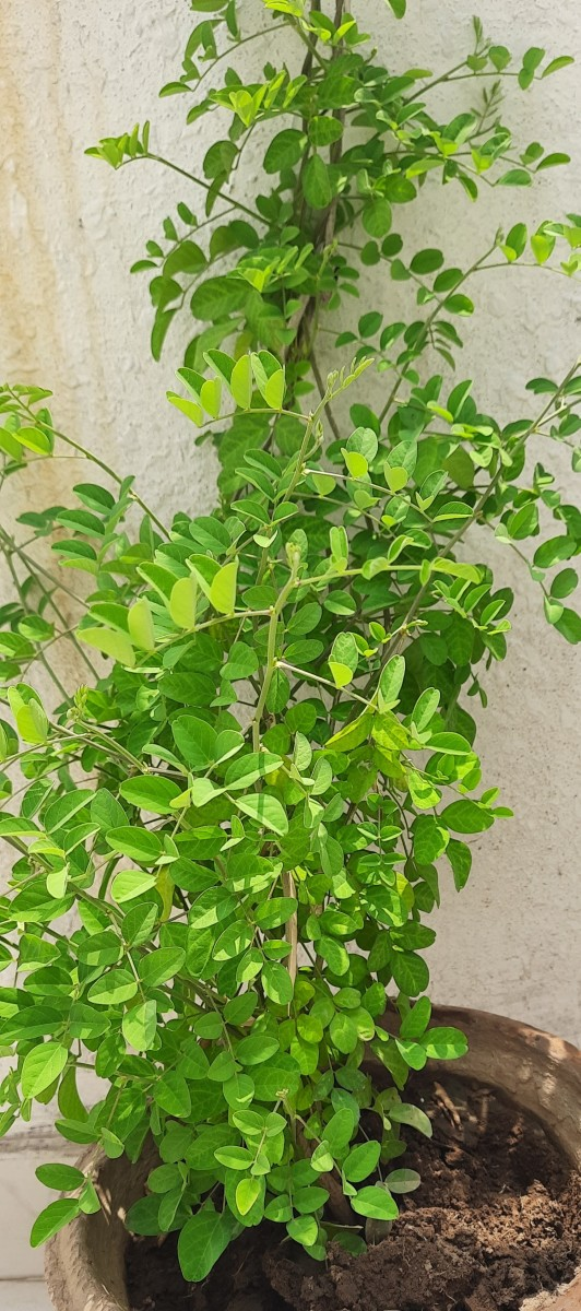 Aparajita growing in container/ pots. Choose a place where the vines can climb with a support, from my garden