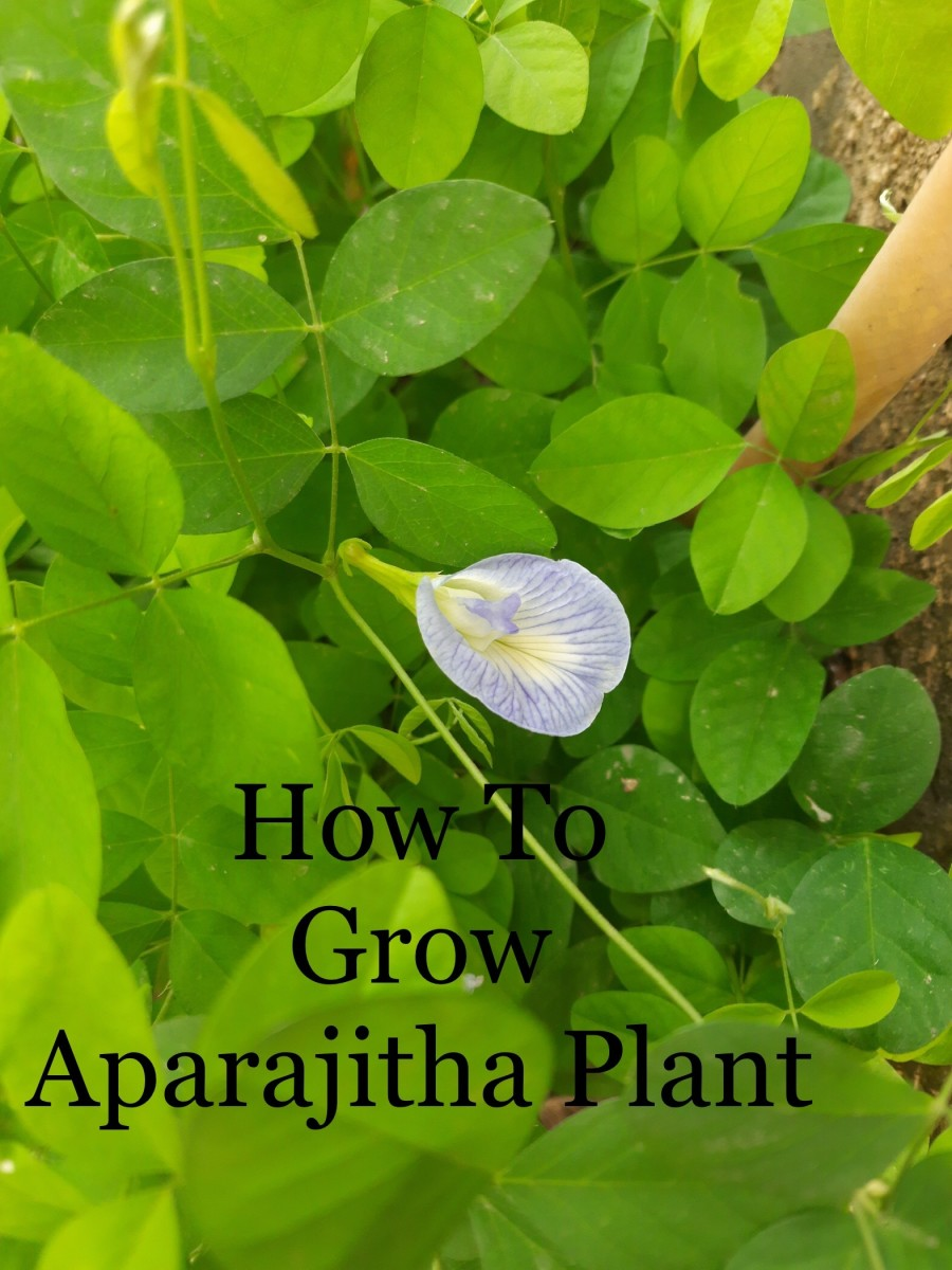 How to grow Aparajitha plant in your home garden