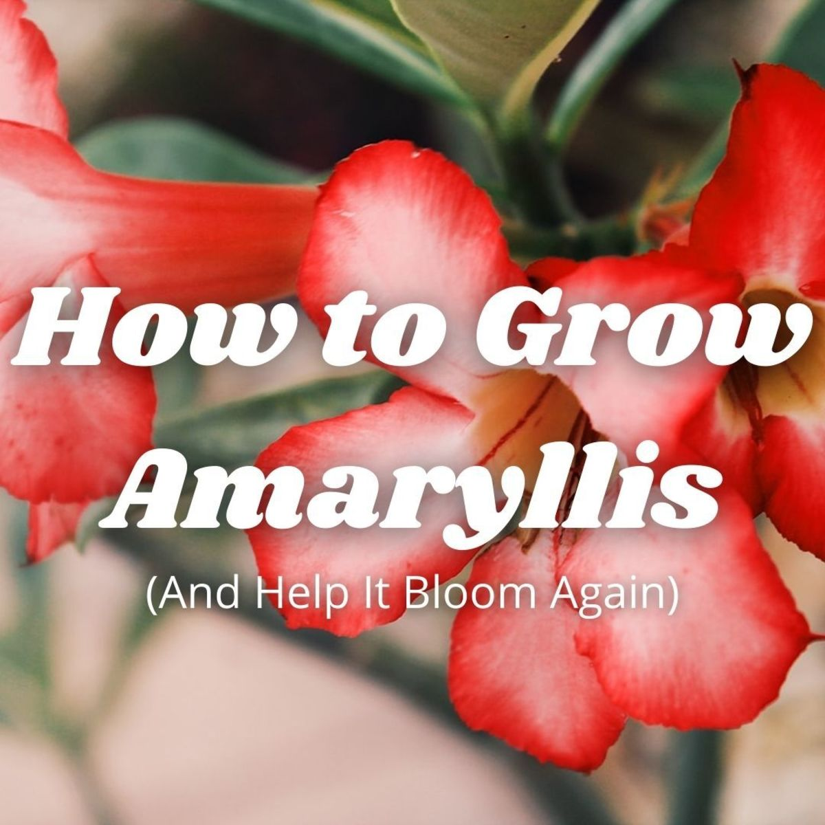 Amaryllis or Hippeastrum: How to Grow and Bloom Again