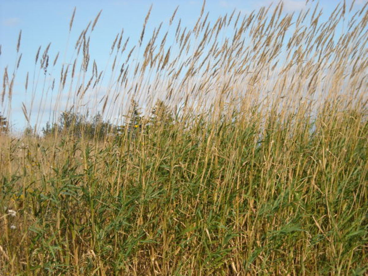 Tall grasses are a favorite habitat of ticks.