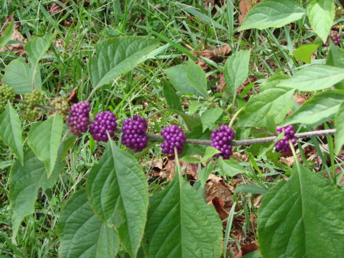 Beautyberry leaves have been shown to repel ticks.