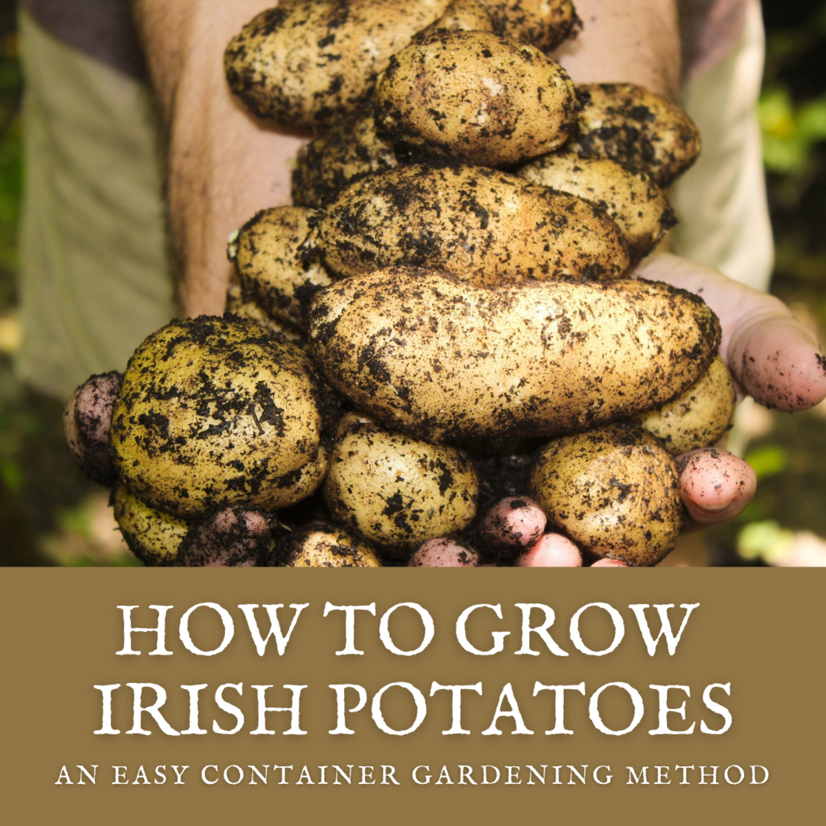 This guide will break down the process of growing Irish potatoes in the container of your choice.