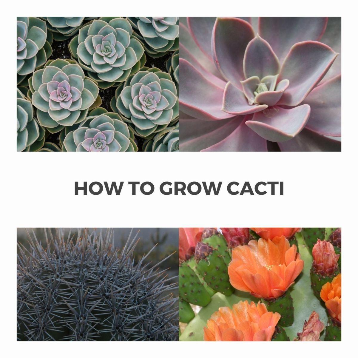 How to Grow Cactus Babies