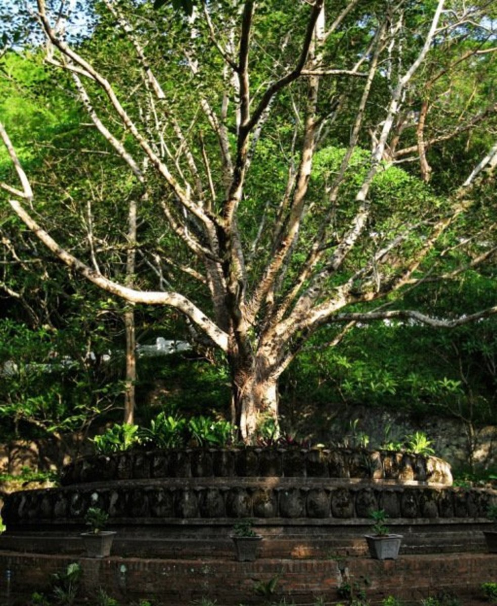 the-calm-bodhi-tree