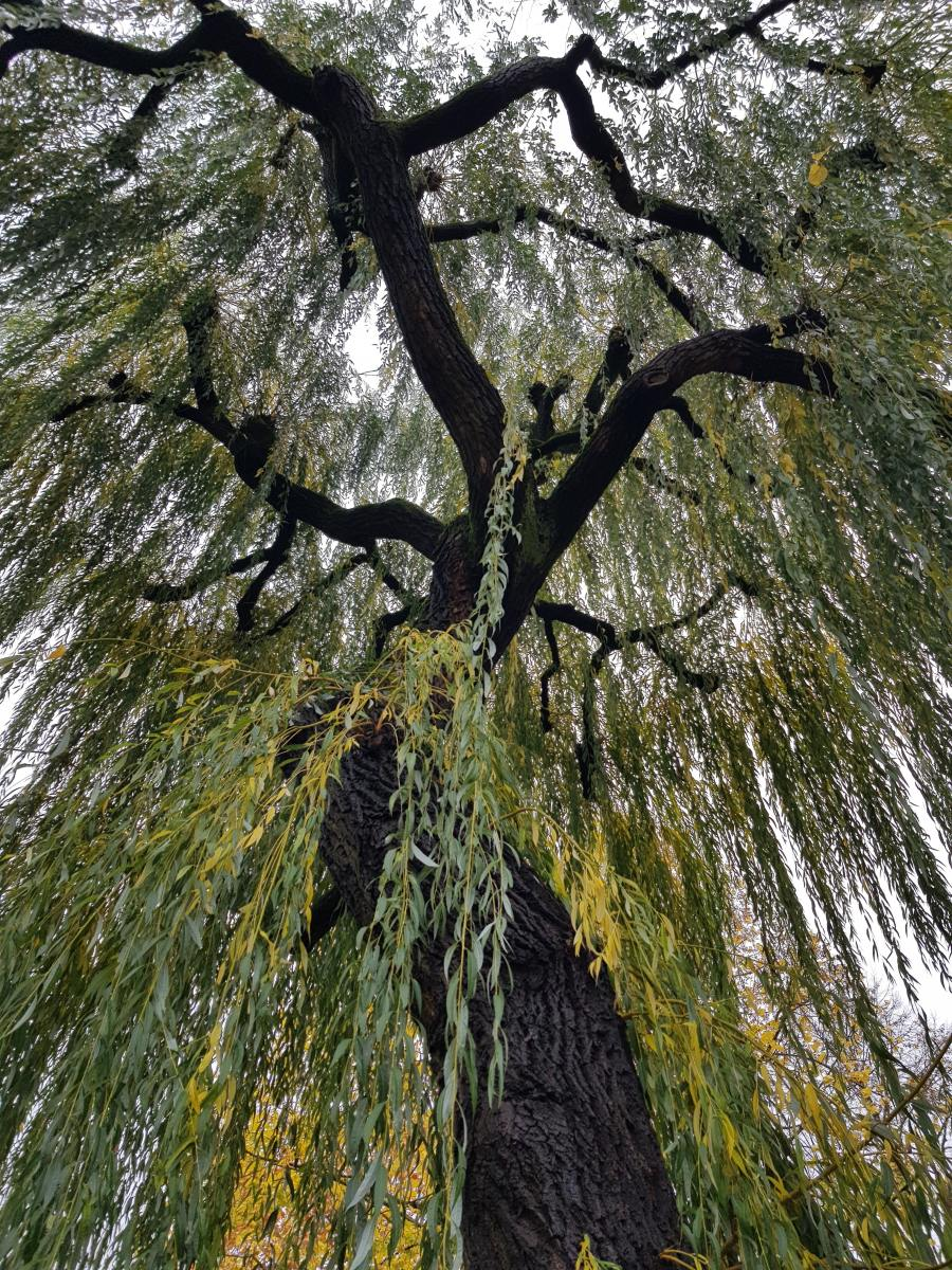 Willow trees are so beautiful.