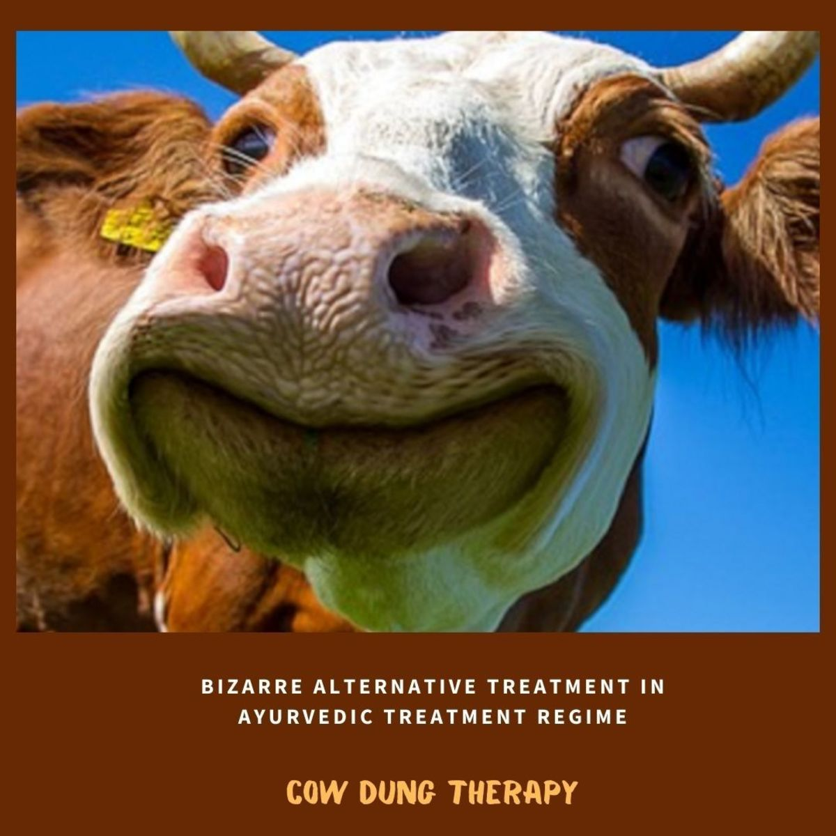 Cow dung therapy is part of the Ayurvedic treatment regime to treat diabetes, arthritis and cancer