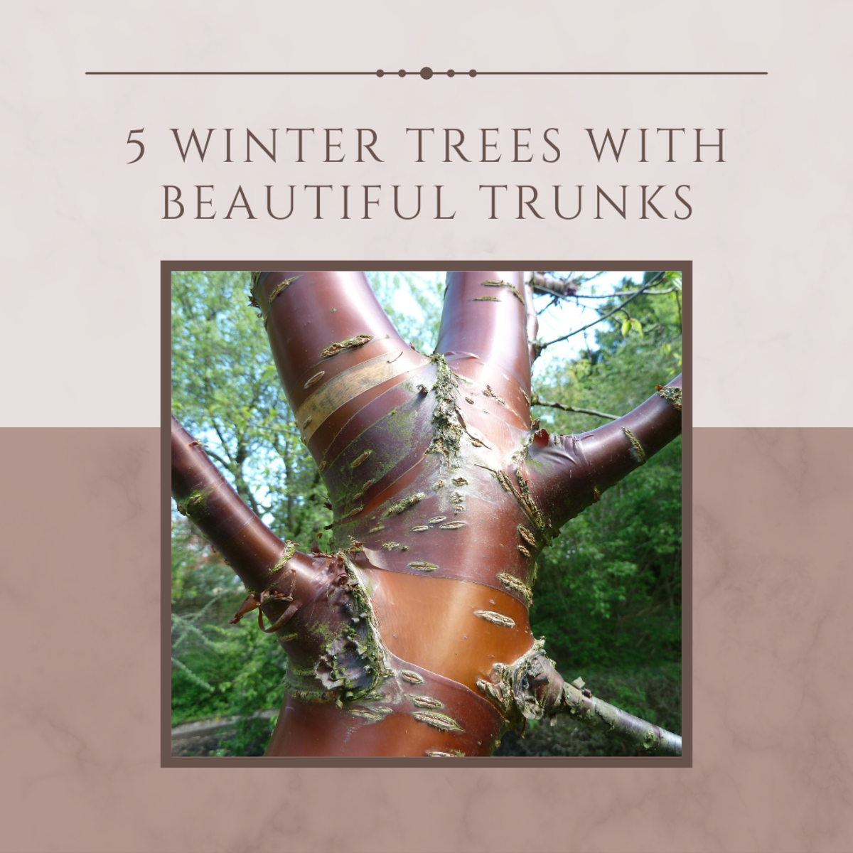 These five winter trees with gorgeous trunks are a great way to spruce up your garden!