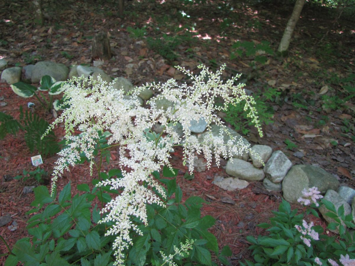 I have astilbe in pink, white, and lavender.