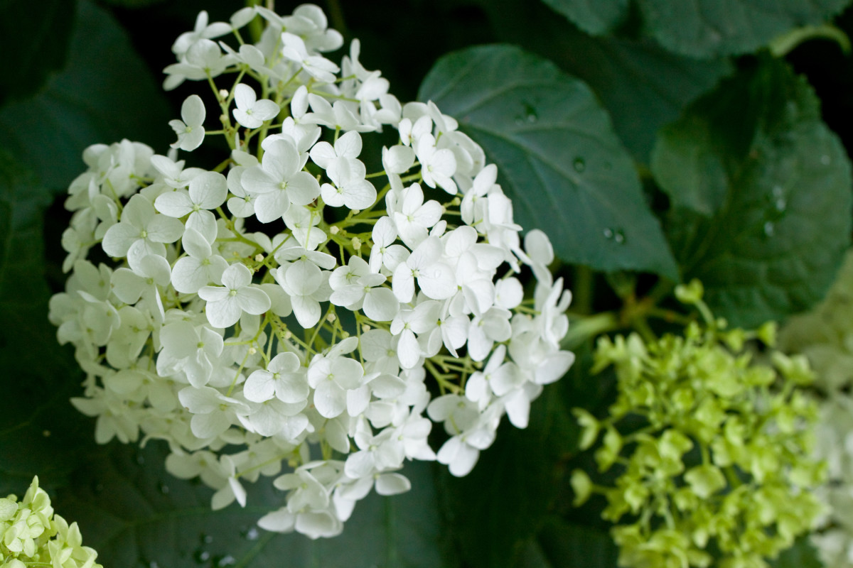 Not pruning your Annabelle hydrangeas may result in smaller blooms, but they're no less stunning!