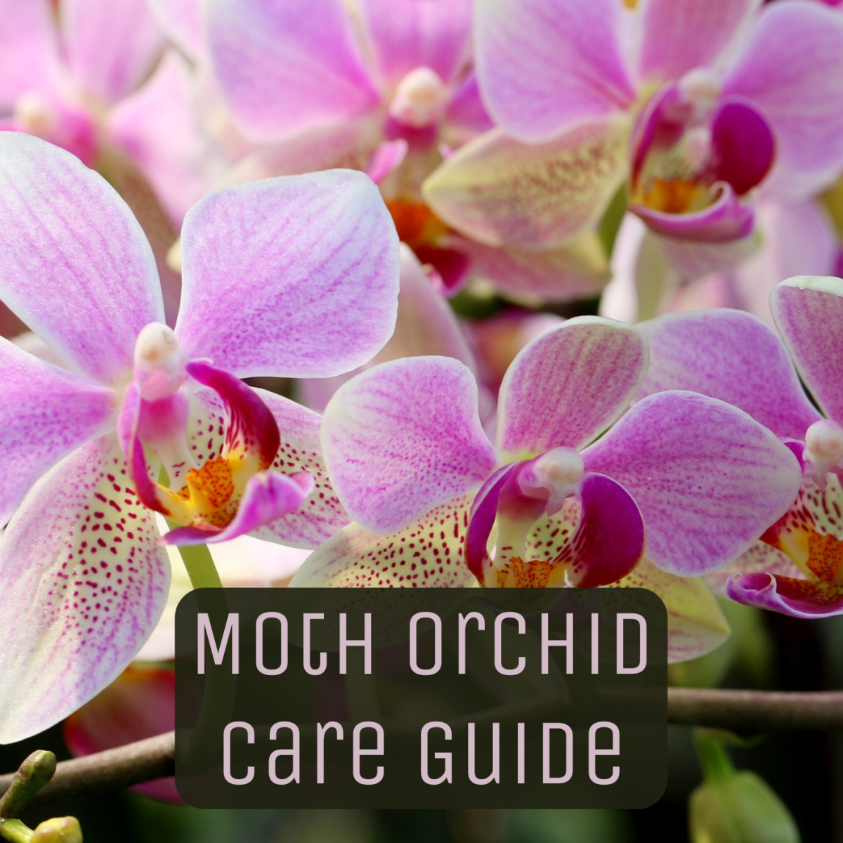 How to Care for a Phalaenopsis Orchid